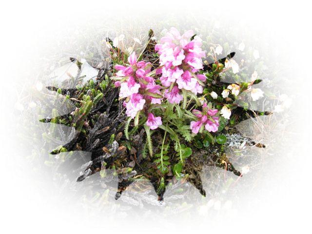 Цветы. Кымытваль.